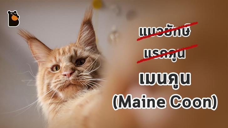 Maine Coon ไม่ใช่แรคคูน แต่เป็นสายพันธุ์หนึ่งของแมว(ยักษ์)