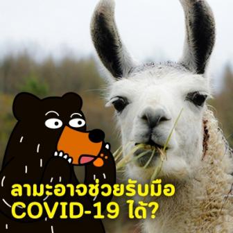 Antibodies ของตัวลามะ อาจมีส่วนช่วยในการรับมือกับ COVID-19 ได้